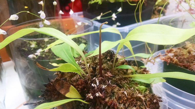 Utricularia longifolia flower stalk.