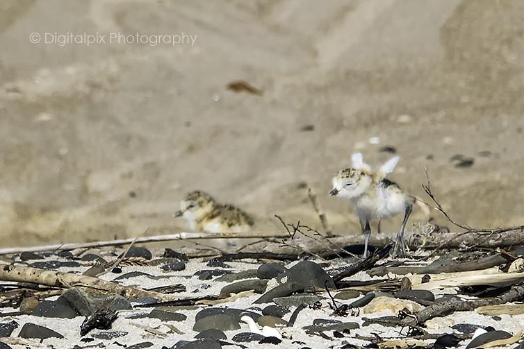 NZ Dotterel Chick