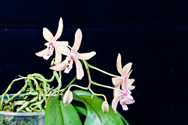 Phalaenopsis Bronze Maiden 16189939054_f05f2798af_z