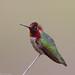 Anna's Hummingbird at Fortini Trail by Bill Walker