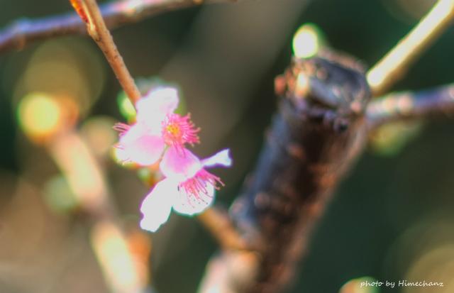 河津桜が咲き始めてましたよ!もぉいまでは満開かな♪