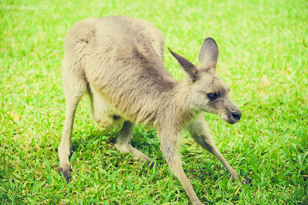 Little Kangaroo playing in the grass