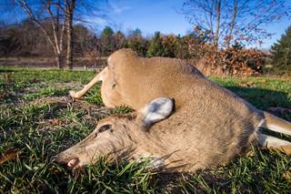Another Dead Deer at Lake Zorinski
