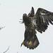 Juvenile Bald Eagle down at White Rock promenade by TylerIngram