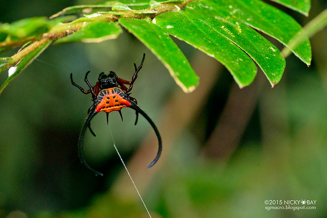 Longhorn orb web spider (Macracantha arcuata) - DSC_3834