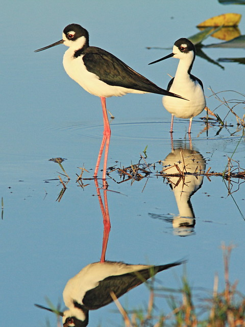 Black-necked Stilts 04-20150315