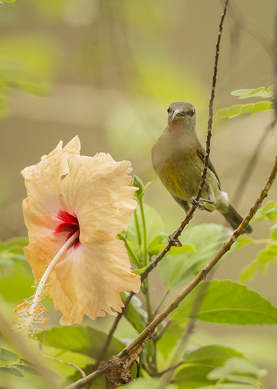 Red-throated Sunbird Thailand