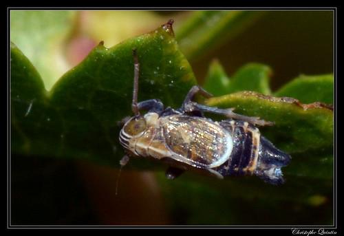 Dicranotropis hamata mâle