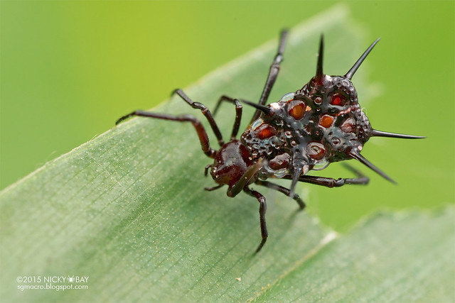 Spiny comb-footed spider (Phoroncidia sp.) - DSC_5750