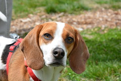 dog breed(1.0), animal(1.0), basset hound(1.0), hound(1.0), harrier(1.0), dog(1.0), treeing walker coonhound(1.0), english foxhound(1.0), american foxhound(1.0), pet(1.0), pocket beagle(1.0), basset artã©sien normand(1.0), finnish hound(1.0), hamiltonstã¶vare(1.0), estonian hound(1.0), beagle-harrier(1.0), english coonhound(1.0), drever(1.0), serbian tricolour hound(1.0), carnivoran(1.0), beagle(1.0), coonhound(1.0),