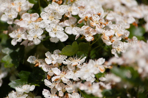 Hawthorn flowers in profusion