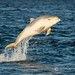Leaping Calf by cjdolfin