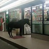 I've seen many animals at 7eleven, but never seen a pony before.