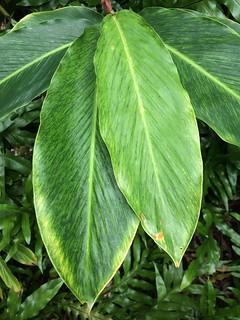 Red ginger: Banana bract mosaic virus