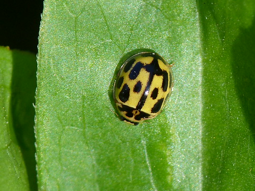 14-spot Ladybird (Propylea 14-punctata) by Peter Orchard