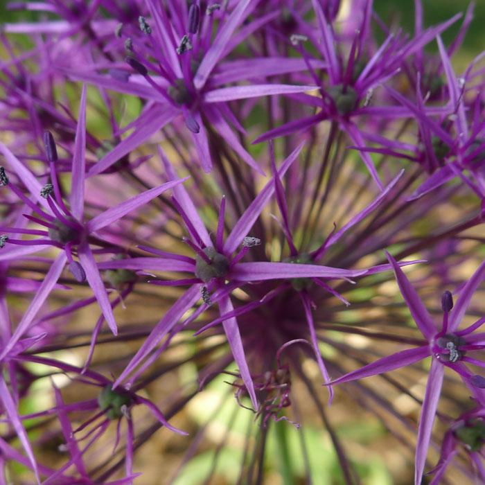 """""""紫色的雨""""葱"""