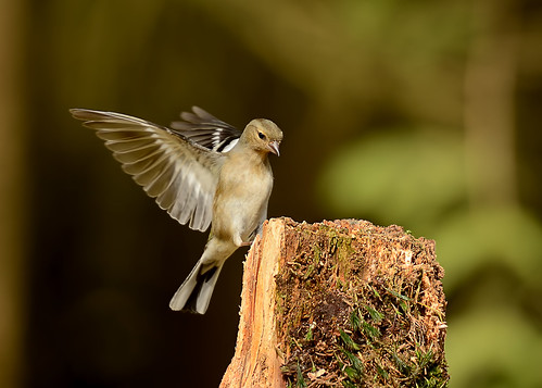 Female Chaffinch landing by Andy Pritchard - Barrowford