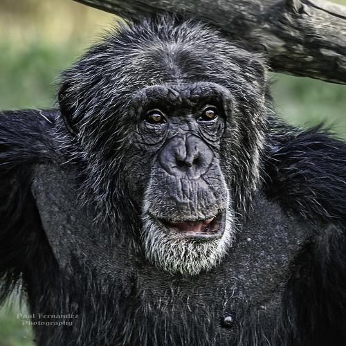 zoo florida miami chimpanzee metrozoo miamimetrozoo zoomiami