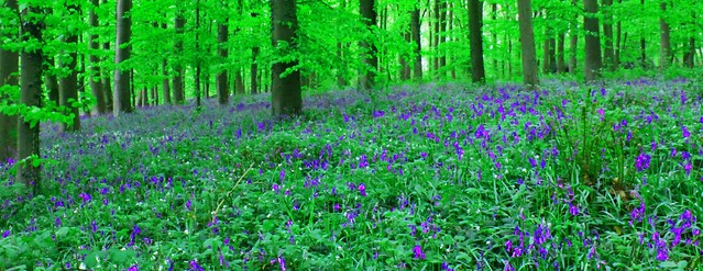 Queenswood Bluebells #project.flickr # blue #Dailyshoot