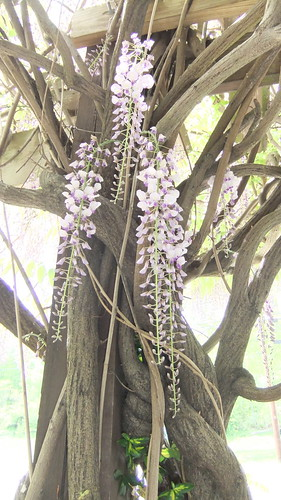 Wisteria by aviva_hadas (Amy)