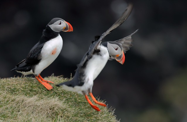 J77A1408 -- Two Puffins, one of them in landing