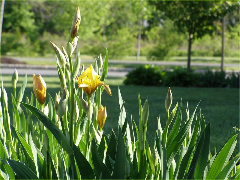~ old irises...