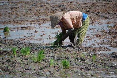 food asia southeastasia rice farmers farming security vietnam agriculture mekongdelta climatechange clues irri ccafs amkn cgiarclimate