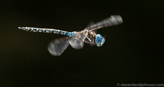Dragonfly in flight, Lincoln, Oregon
