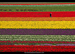 Dutch Tulips Rainbow Lines