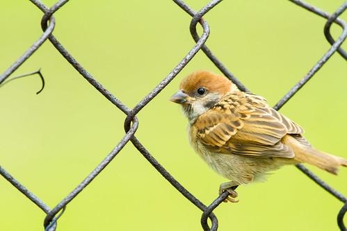 """麻雀雖小, 五臟俱全 (A sparrow has everything it needs despite its size)"" / 自然 Nature / SML.20130514.7D.41797"