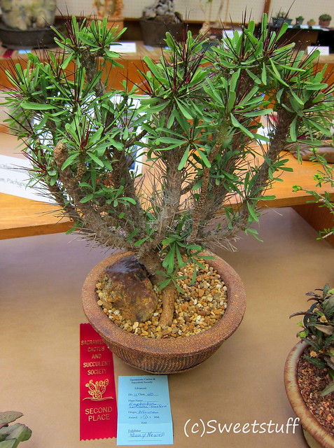 Euphorbia Loricata by Penny Newell