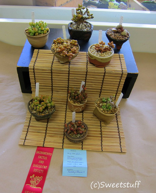 Second place Adromischus group by Penny Newell