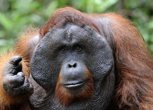 3_orangutan