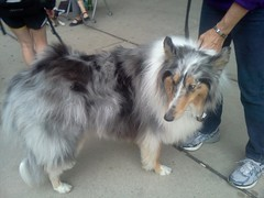 dog breed(1.0), animal(1.0), dog(1.0), pet(1.0), scotch collie(1.0), rough collie(1.0), collie(1.0), carnivoran(1.0), shetland sheepdog(1.0),