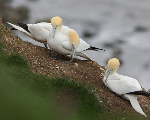 Peaceful Gannets