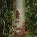 Corymbia torelliana bark