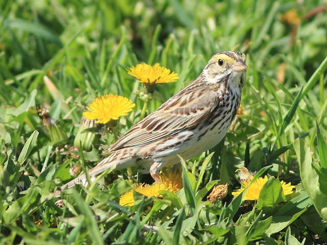 Savannah Sparrow 2-20130515