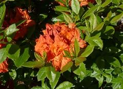 Orange azaleas