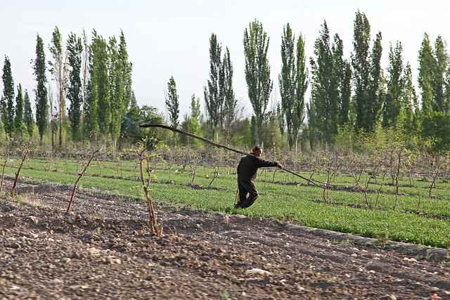 A man walking in the field, Kumul (Hami) ハミ、畑の中を歩く人