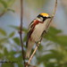 A chestnut sided warbler by DBartesJr.