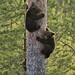 Bear cubs, Sweden (Hakan Vargas)