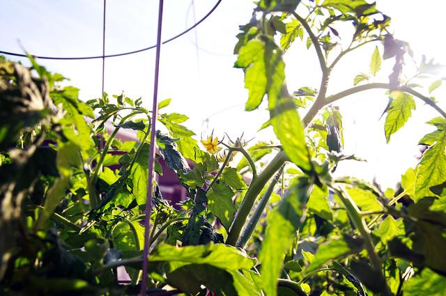 sunshiny tomatoes