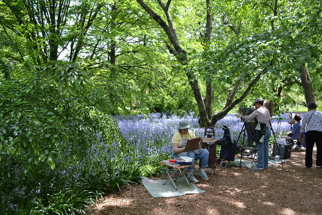Hyacinthoides hispanica 'Excelsior' (spanish bluebell) in Bluebell Wood. Photo by Blanca Begert.