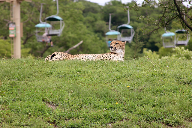 Lu_Zoo_Cheetah