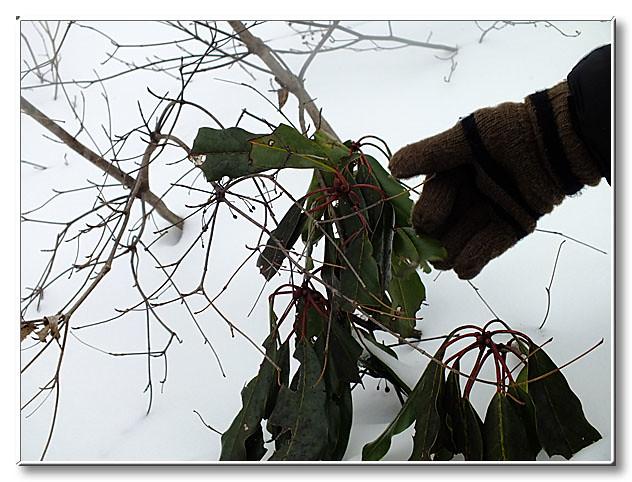 八幡に自生する常緑樹の1つのエゾユズリハ.色々な生き物がその葉を食べる.