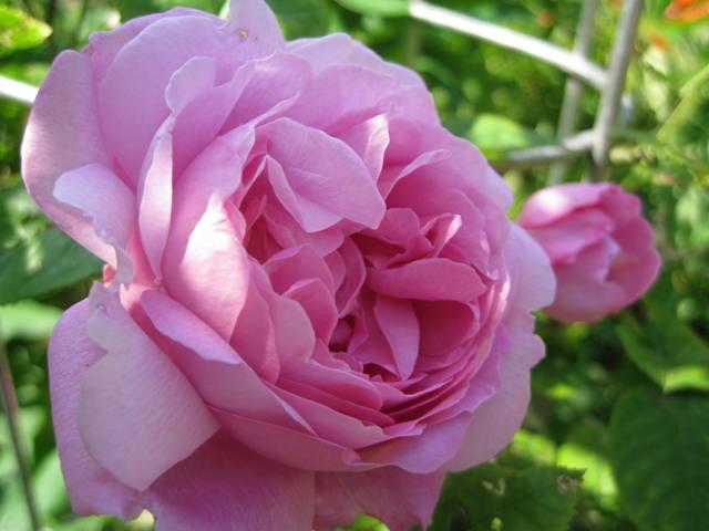 Første rose 2013