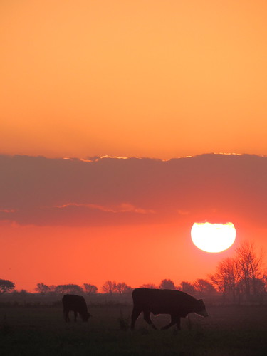 sunset atardecer country campo steer ocaso lateafternoon funes novillo diegostiefel