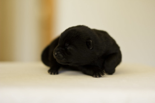 Kumi-Litter3-Day4-Puppy1-Female-a