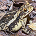 Gulf Coast Toad - Photo (c) Jeromi Hefner, some rights reserved (CC BY)