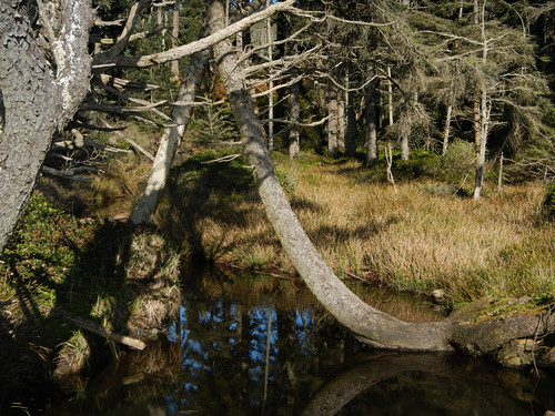 bent tree reflected in stream, Vancouver Island